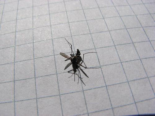 Mosquito Tigre muerto -1