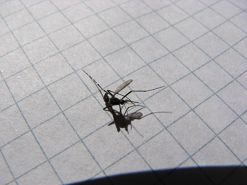 Mosquito Tigre muerto - 2